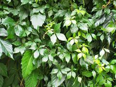 Large growths of ivy creeping wild closeup Stock Photos