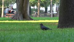 Crow, raven in lawn, public park, gardens - sunny autumn afternoon 4 Stock Footage