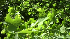 Tulip tree branches with leaves move in wind in summer. 4K Stock Footage