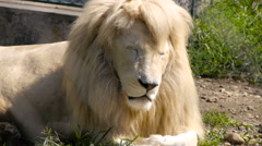 White lion lying and resting in the sun Stock Footage