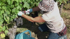 Harvesting of grapes one by one using a secateur Stock Footage