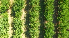 Green Trees Growing  In Rows In Standard Orchard Stock Footage