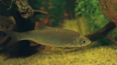 Freshwater fish underwater. Roach. - stock footage
