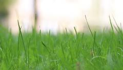 Close-up of green grass on the lawn, changing the focus back and front - stock footage