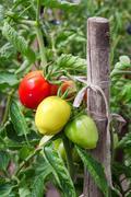 Homegrown Red Fresh Tomato In A Garden. Stock Photos