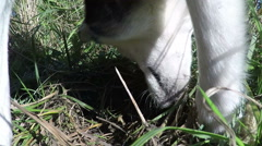 Husky preys on field mice. Stock Footage