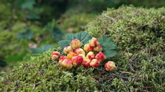 Wild Berry cloudberries closeup Stock Footage