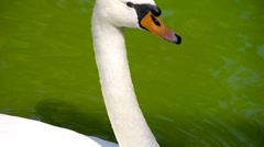 Close up of an swan, swimming in the calm pond Stock Footage