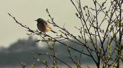 Meadow pipit sitting on a branch Stock Footage