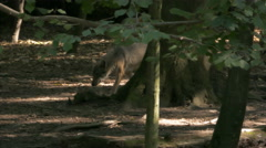 Gray or grey wolves (Canis lupus) walking in the forest. Stock Footage