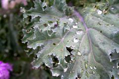 Cabbage leaf with raindrops. Stock Photos