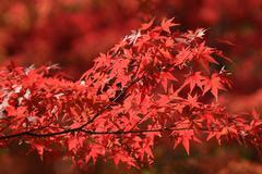 Autumn Leaves Of Eikan-do Zenrin-ji - stock photo
