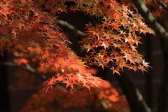 Autumn Leaves Of Eikan-do Zenrin-ji Stock Photos