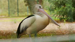 Pelican. Close-up. 4K. Stock Footage