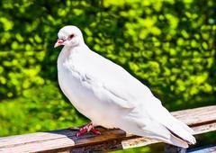 White pigeon Stock Photos
