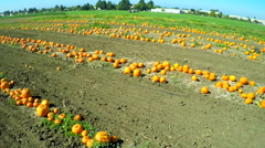 An aerial shot over pumpkins growing in fields. Stock Footage