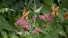 Slow motion Giant Swallowtail (Papilio cresphontes) butterfly. - stock footage