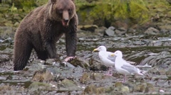 Brown Bear eating a salmon at Pavlof River flowing into Freshwater Bay in Pavlof Stock Footage