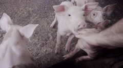 Baby pigs in barnyard Stock Footage