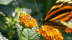 Ismenius Tiger or Tiger Heliconian (Heliconius ismenius) butterfly flying away. Stock Footage