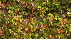 Green and red leaves Stock Footage