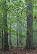 Old oaks in fall misty deciduous stand of Bialowieza Forest,Poland,Europe - stock photo