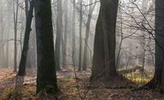 Stock Photo of Autumnal morning in the forest with mist and old trees in foreground,Bialowie