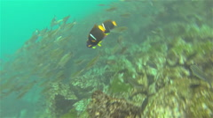 Underwater footage of a school of Black Striped Salema and Razor Surgeonfish at  - stock footage