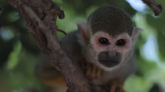 Squirrel Monkey Seating on a Tree Brunch Stock Footage