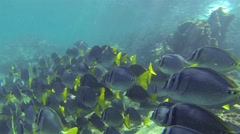 Underwater footage of a school of Black Striped Salema and Razor Surgeonfish at  Stock Footage