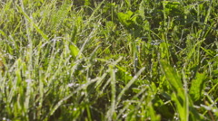 CLOSE UP: Dew on meadow in beautiful misty morning Stock Footage
