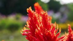 Close up red Celosia, Plumed Celosia, Wool Flower with morning sun - stock footage