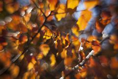 Autumn pear twigs with sunlit orange leaves. Stock Photos