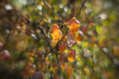 Autumn pear tree with sunlit orange leaves. Stock Photos