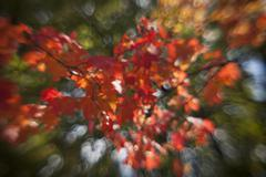 Autumn red maple leaves out of focus Stock Photos