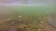 Underwater school of salmon and trout swimming at Lake Eva on Baranof Island - stock footage