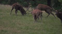 Red deer rutting season Stock Footage