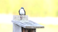 Tree Swallow Flying off of Birdhouse. Stock Footage