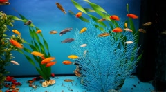 Aquarium background blue calm fish swim grass saver video Stock Footage