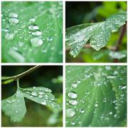 Rain drops on  gingko  leaves  collage Stock Photos
