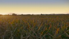 4K Aerial: Sunset Lift Above Corn Fields Stock Footage