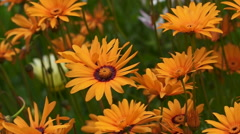 Orange Daisies wild flowers Stock Footage