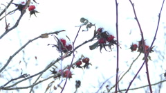Briar Berries in Snowy Winter Day Stock Footage