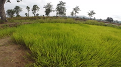 Green rice farm in Thailand - stock footage