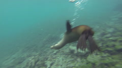 Playful Galapagos Sea Lion underwater at Champion Island off Floreana Island in - stock footage