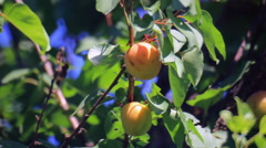Apricots fruits at tree Stock Footage