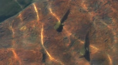 Large Tadpoles under Shimmering Water. Stock Footage