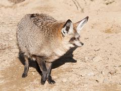 Bat eared fox - Otocyon megalotis - stock photo