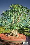 Stock Photo of Bonsai Tree Of Ficus Benjamina Tree, India
