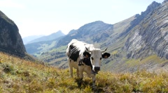 cows grazing in the mountain pastures - stock footage